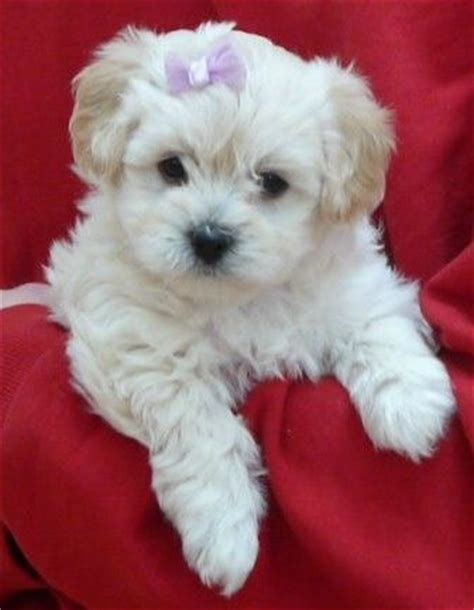 where can i buy a havanese puppy best 25 poodle mix puppies ideas on poodle mix dogs poodle mix and