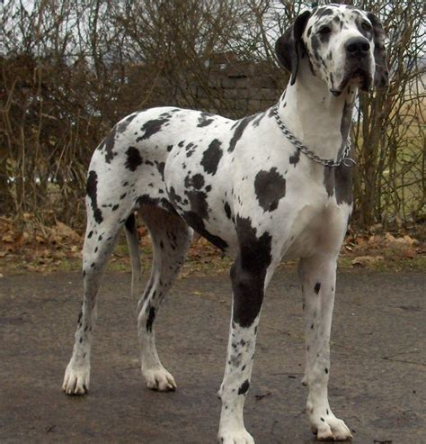 Great Dane Shedding Like by Great Dane Breed Info Breeders And Puppies For Sale