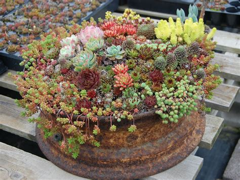 how to grow and care for container succulents world of succulents