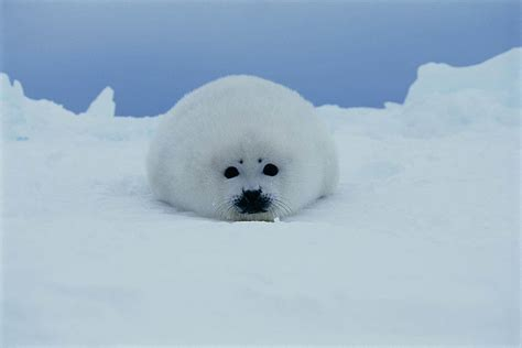 Seal Pop Seal Jus harp seals brian skerry