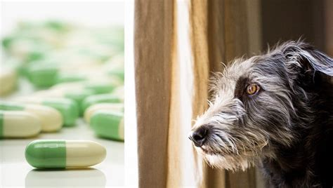 side effects of prozac in dogs fluoxetine for dogs uses dosage and side effects dogtime