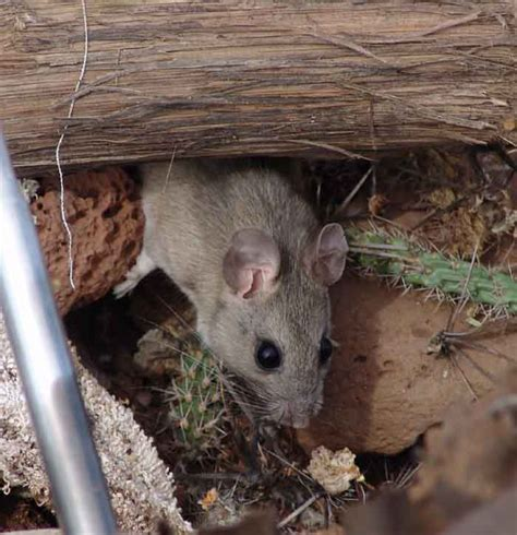 Rats Shed by Has Anyone Seen A Real Packrat Discussion Forums