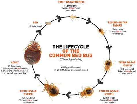 life cycle of a bed bug bed bug development