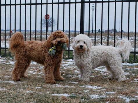 mini goldendoodle how big do they get mini f1b goldendoodles brewer s goldendoodles