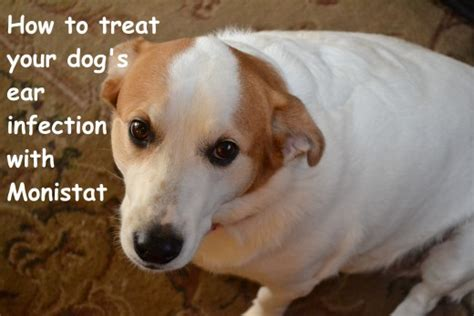 how to treat yeast infection in dogs how to treat your s ear infection with monistat