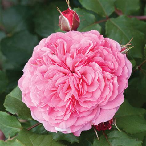 english shrub rose pink yougarden