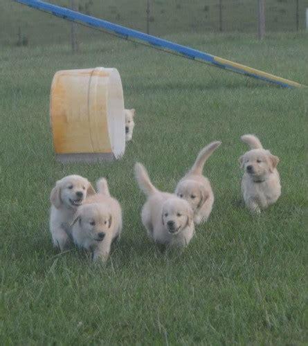 powderhorn golden retrievers puppies powderhorn golden retrievers
