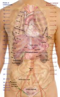 Surface projections of the organs of the trunk png