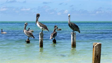 pelican boat key west the ultimate snowbirds white pelicans return to florida