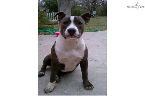 gotti pitbull puppies meet gorgeous pitbull puppies a american pit bull terrier puppy for sale for 599