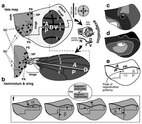 pattern formation in the drosophila wing the development of the veins landscape of prepattern factors that evoke macrochaetes on