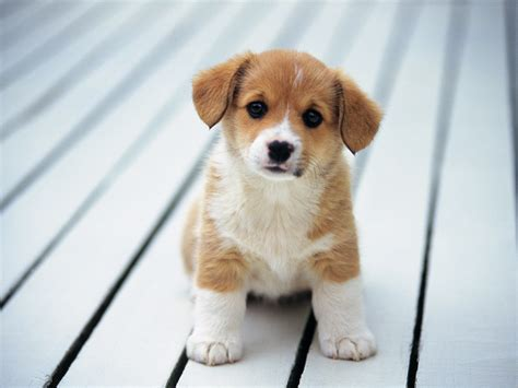 breeds puppies cats and dogs cutest breed of puppies