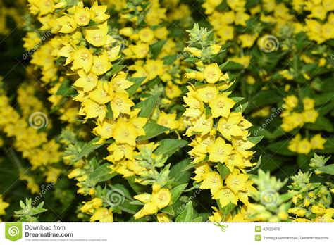 Yellow Flower Garden Yellow Garden Flowers Stock Photo Image 42020478