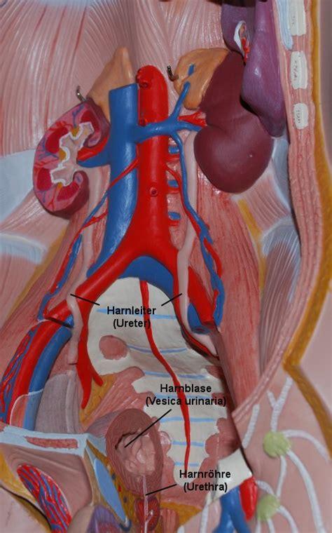 wo liegen die organe beim menschen die nieren ihre lage im k 246 rper