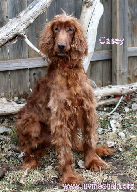 setter puppies mn 17 best ideas about setter puppies on setter dogs