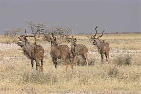 Kudu Picture And Images