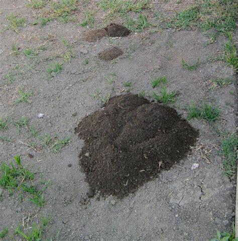 Gopher In Backyard by Getting Rid Of Gophers In Yard Lynda Makara