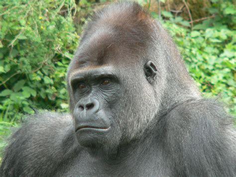 Western Gorilla - Gorilla Facts and Information