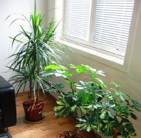 Lu Hias Ruangan Tamu tanaman hias pembersih udara dalam ruangan bibitbunga