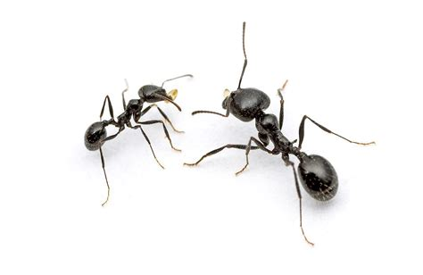 house ants black house ants www pixshark com images galleries