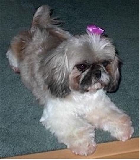shih tzu for adoption uk shih tzu for rescue assistedlivingcares