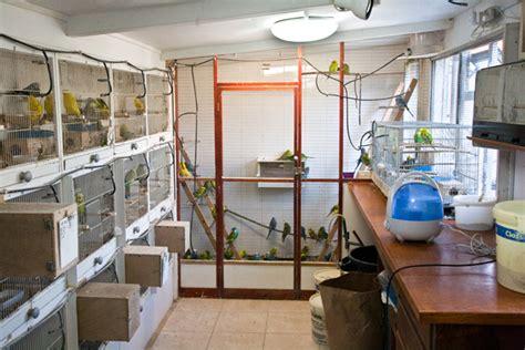 bird room awb budgies aviary my challenge nigel darley