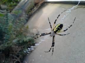 Garden Spider Markings Argiope Aurantia Yellow Garden Spider Black And Yellow