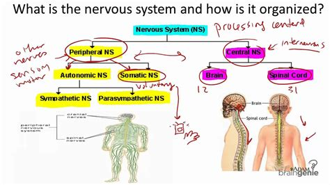 section 35 5 drugs and the nervous system 8 1 the nervous system structure and function youtube