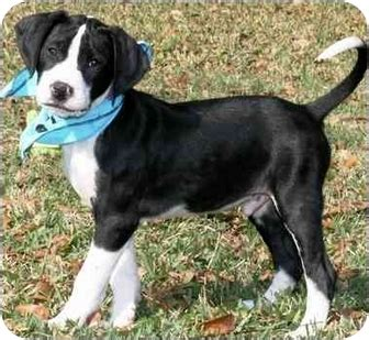 basset hound puppies houston bleu adopted puppy sue e houston tx pointer basset hound mix