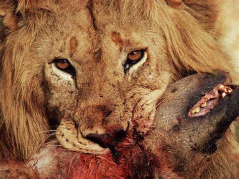 imagenes de leones national geographic lista animales mas peligrosos del mundo