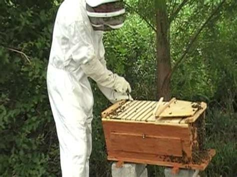 harvesting honey from top bar hive harvesting honey from our cedar top bar bee hive from www