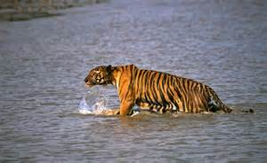 on a boat with a tiger tiger leaps onto boat snatches man in east india daily