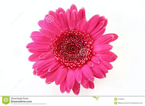marguerite rose de gerbera images stock image 4123594