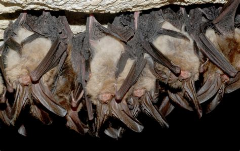 native animals of the month cave bats