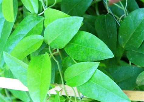 tanaman herbal  penyakit asam lambung