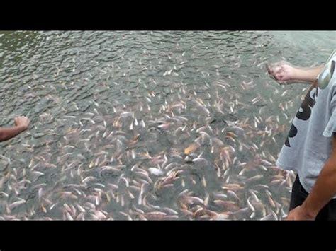 Pakan Alami Larva Ikan panen larva ikan nila pada pemijahan alami di hapa doovi