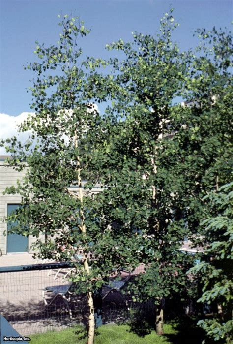 17 best images about shade trees on pinterest ash sun and drought tolerant
