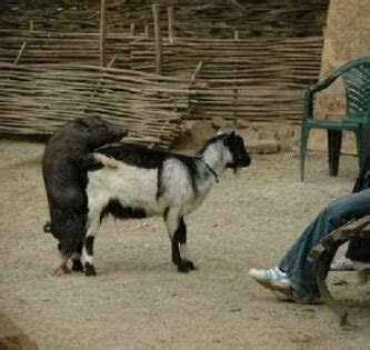 yang mau qurban cek dulu kambingnya display bbm humor singkat lucu gambar humor kocak kata