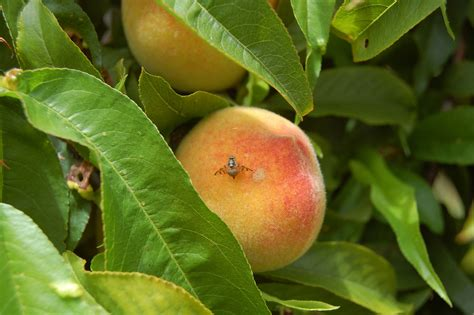 fruit flies in queensland fruit fly department of agriculture and food