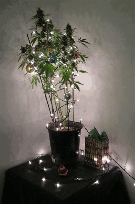 marijuana christmas tree pics marijuana tree cannabis marijuana christmas tree gif every bit helps