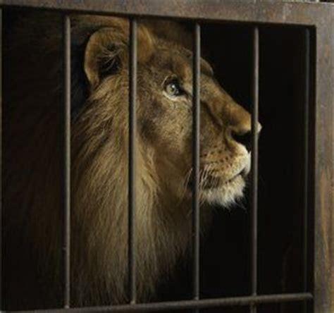 imagenes leones tristes destino la libertad la conmovedora historia de los