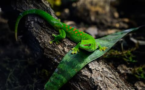 animals reptiles gecko green lizard  wallpapers hd