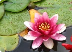 pics photos de flor de lotus ideias para tatuagens desenhos para saiba como cultivar a flor de l 243 tus jardim das ideias