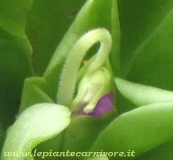 fiore inizia con la a pinguicula x tina in fiore