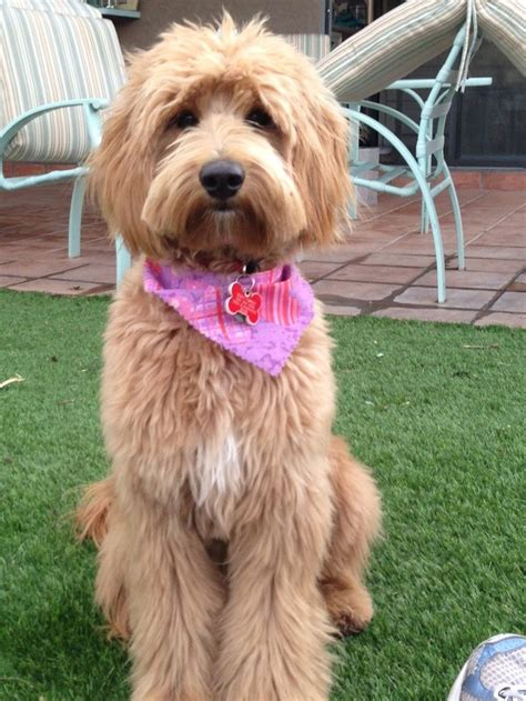 labradoodle haircut pictures 17 best ideas about goldendoodle haircuts on pinterest