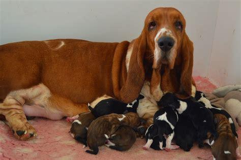 basset hound puppies bromwylva basset hound puppies llangollen denbighshire