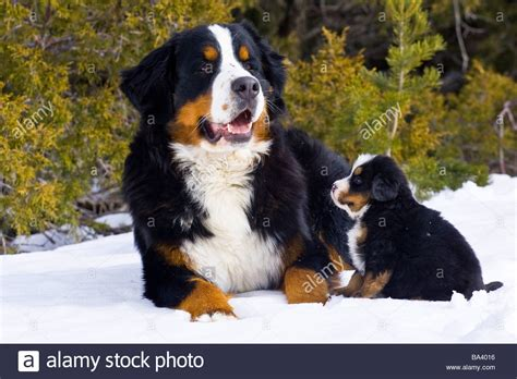 bernice mountain bernese mountain grown www pixshark