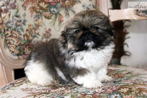 akc pekingese puppies for sale pekingese puppy for sale near tulsa oklahoma 51a4e38c 6ab1