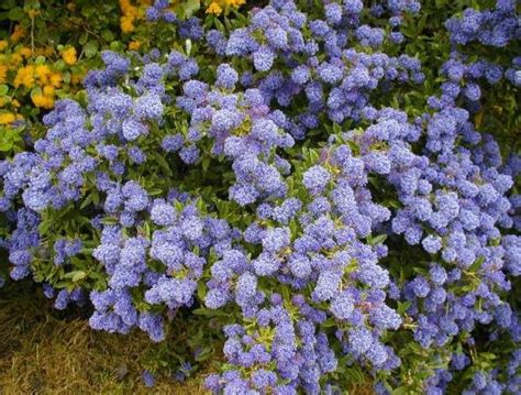 shrub blue flowers buy flowering shrubs at tn tree farm nursery flowering