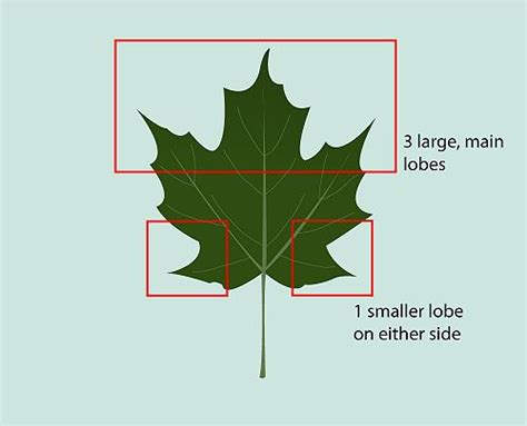 maple tree guide 17 best images about arboretum ideas for community on trees winter trees and leaves